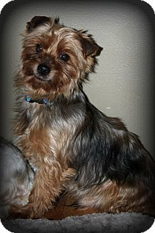 Yorkie, Yorkshire Terrier Dog for adoption in Sinking Spring, Pennsylvania - Tommy