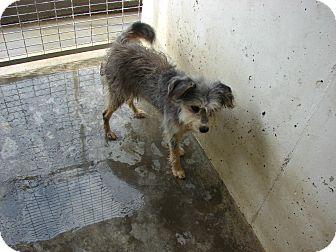 Cairn Terrier Mix Dog for adoption in Fort Scott, Kansas - Stewie