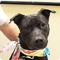 Labrador Retriever Mix Dog for adoption in Horn Lake, Mississippi - Trip