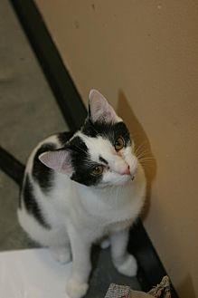 Domestic Shorthair Cat for adoption in Capshaw, Alabama - Olive Oyl