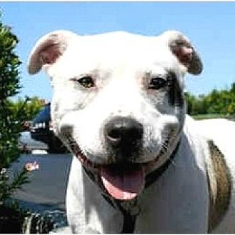 American Bulldog/Staffordshire Bull Terrier Mix Dog for adoption in Santa Monica, California - Cookie