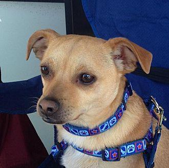 Chihuahua Mix Dog for adoption in Phoenix, Arizona - Lou