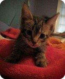Domestic Shorthair Kitten for adoption in Hampton, Virginia - CATHERINE ZETA (LUPITA KITTEN)