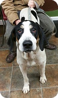 Treeing Walker Coonhound Mix Dog for adoption in Lisbon, Ohio - Elvis