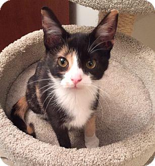Domestic Shorthair Kitten for adoption in Covington, Kentucky - Ophelia