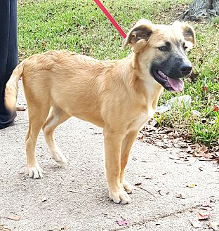 Golden Retriever/Black Mouth Cur Mix Puppy for adoption in Houston, Texas - Meagan