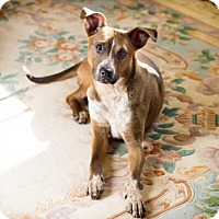 Adopt A Pet :: Tilly - ADOPTION PENDING!! - Arlington, VA