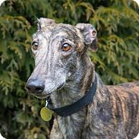 Adopt A Pet :: Comet - Seattle, WA