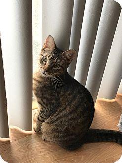 Domestic Shorthair Cat for adoption in Virginia Beach, Virginia - Lord Nigel