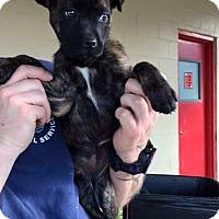 Adopt A Pet :: Hattie Belle - Nashville, TN