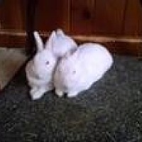 Adopt A Pet :: Mindy and Jerry - Manchester, CT