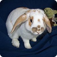 Adopt A Pet :: Fluffernutters - Alexandria, VA
