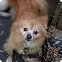 Adopt A Pet :: Mickey - Chesterfield, MO