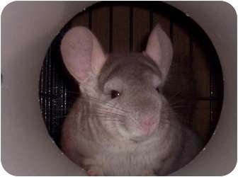 Chinchilla for adoption in Avondale, Louisiana - Gus