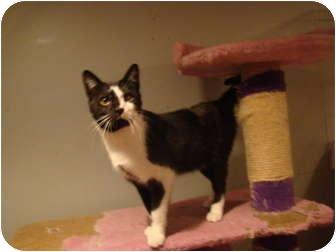 Domestic Shorthair Cat for adoption in Muncie, Indiana - Finley--PETSMART