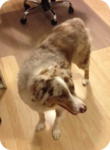 Australian Shepherd Dog for adoption in Minneapolis, Minnesota - Sydney