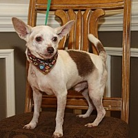 Chihuahua/Rat Terrier Mix Dog for adoption in Matthews, North Carolina - Mikey