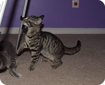 Domestic Shorthair Kitten for adoption in Lexington, Kentucky - Gus