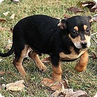 Adopt A Pet :: Oliver - Brattleboro, VT