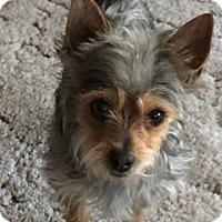 Adopt A Pet :: Gizmo - Los Angeles, CA