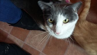 Domestic Shorthair Kitten for adoption in Mt. Pleasant, Pennsylvania - Diesel