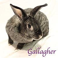 Adopt A Pet :: Gallagher - Bradenton, FL