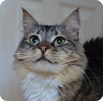 Maine Coon Cat for adoption in Davis, California - Tulula