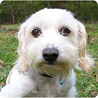 Adopt A Pet :: Abbey - Mocksville, NC