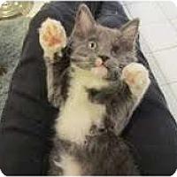 Adopt A Pet :: Sapphire - Arlington, VA