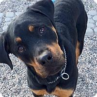 Adopt A Pet :: Winston - Gilbert, AZ