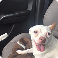 Adopt A Pet :: Rowdy - Ardmore, OK
