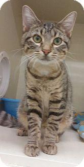 Domestic Shorthair Kitten for adoption in Hillside, Illinois - Miles-6 MONTHS