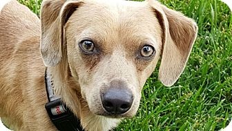 Dachshund Mix Dog for adoption in Valley Village, California - Charlie