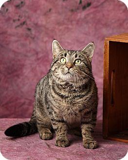Domestic Shorthair Cat for adoption in Harrisonburg, Virginia - Thomas J