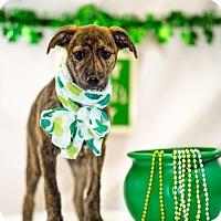 Adopt A Pet :: Ireland - Fayetteville, AR