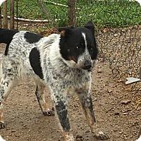 Adopt A Pet :: Petey - Parker, KS
