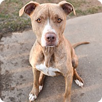 Adopt A Pet :: Venus - Colmar, PA