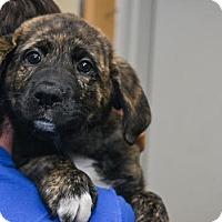 Adopt A Pet :: Jasmine - Pittsburg, KS