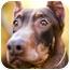 Photo 1 - Doberman Pinscher Dog for adoption in Santee, California - Harry