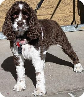 Cocker Spaniel Dog for adoption in Gilbert, Arizona - Luke