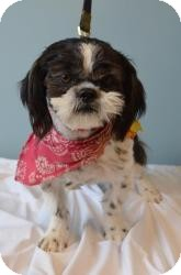 Shih Tzu Dog for adoption in Shawnee Mission, Kansas - Tai Ling
