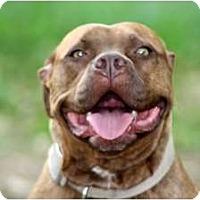 Adopt A Pet :: TOOTSIE - Bryan, TX