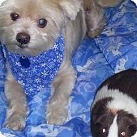 Adopt A Pet :: Abe - Madison, WI