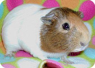 Guinea Pig for adoption in Steger, Illinois - Piggly