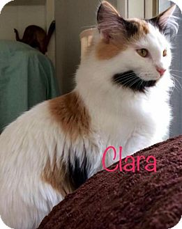 Calico Kitten for adoption in Knoxville, Tennessee - Clara Female Kitten