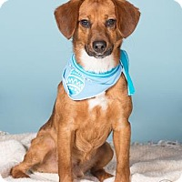 Adopt A Pet :: Fletch - Northbrook, IL