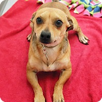Terrier (Unknown Type, Small)/Chihuahua Mix Dog for adoption in Portland, Oregon - Kirby