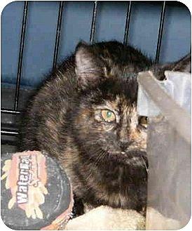 Domestic Shorthair Cat for adoption in Tyler, Texas - LV-Jenny
