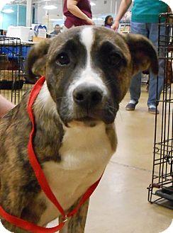 Bull Terrier/German Shepherd Dog Mix Puppy for adoption in Gainesville, Florida - Sara Beth