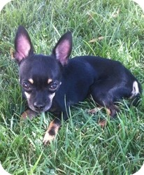 Chihuahua Mix Dog for adoption in Las Vegas, Nevada - Ty